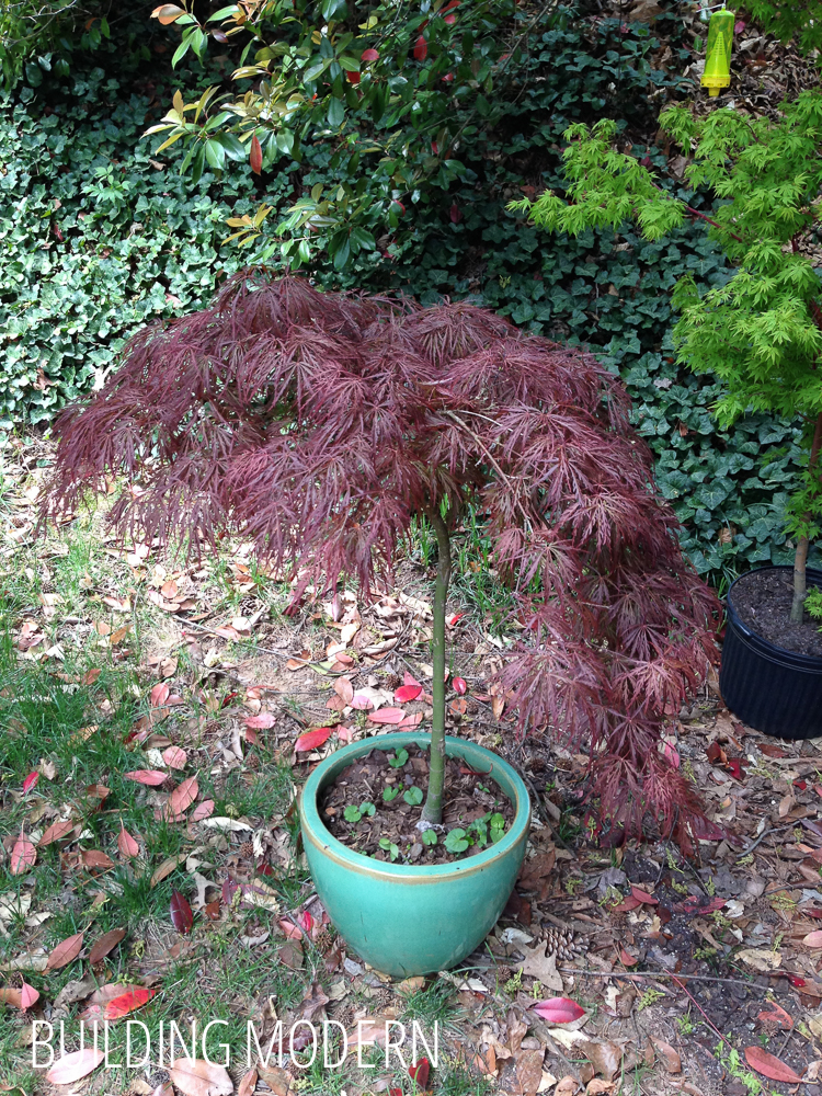 red weeping laceleaf Japanese Maple