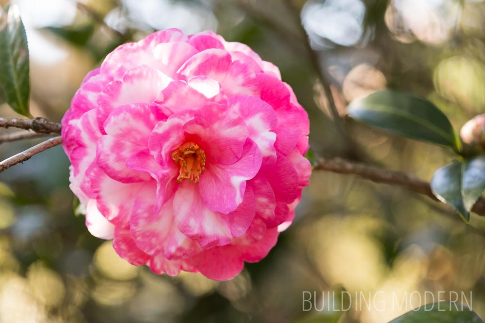 Camellia Hybrid Julia