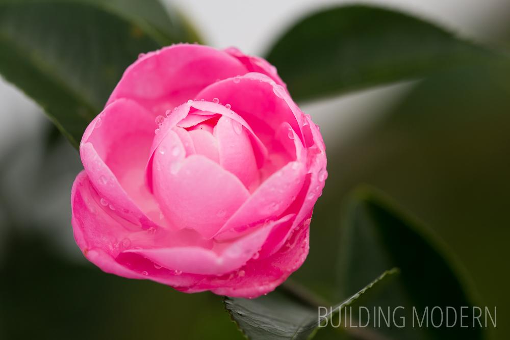 Camellia Hybrid Sweet Jane