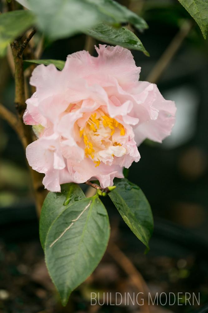 Camellia Japonica Elains Betty