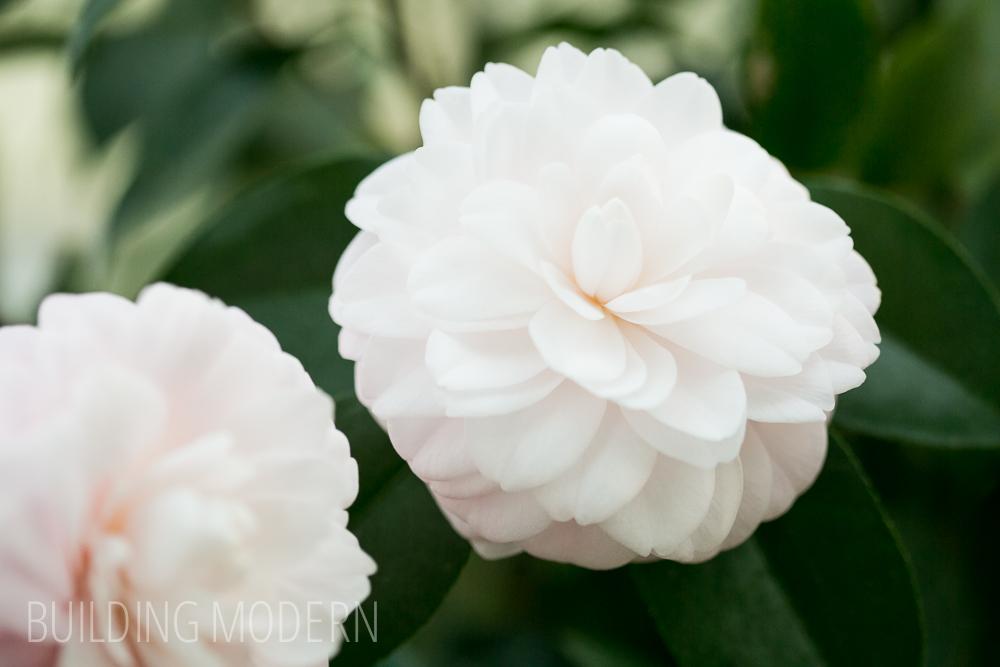 Camellia Japonica Harriet Bisbee