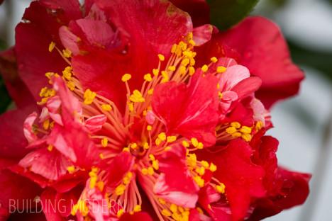 Camellia Japonica Laura Walker