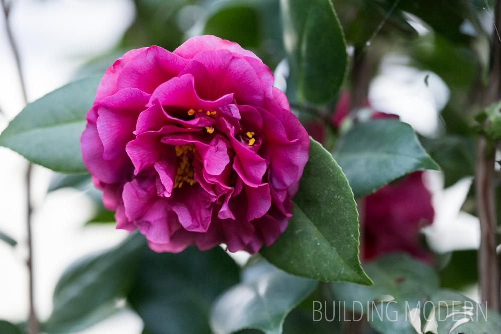 Camellia Japonica Les Marbury