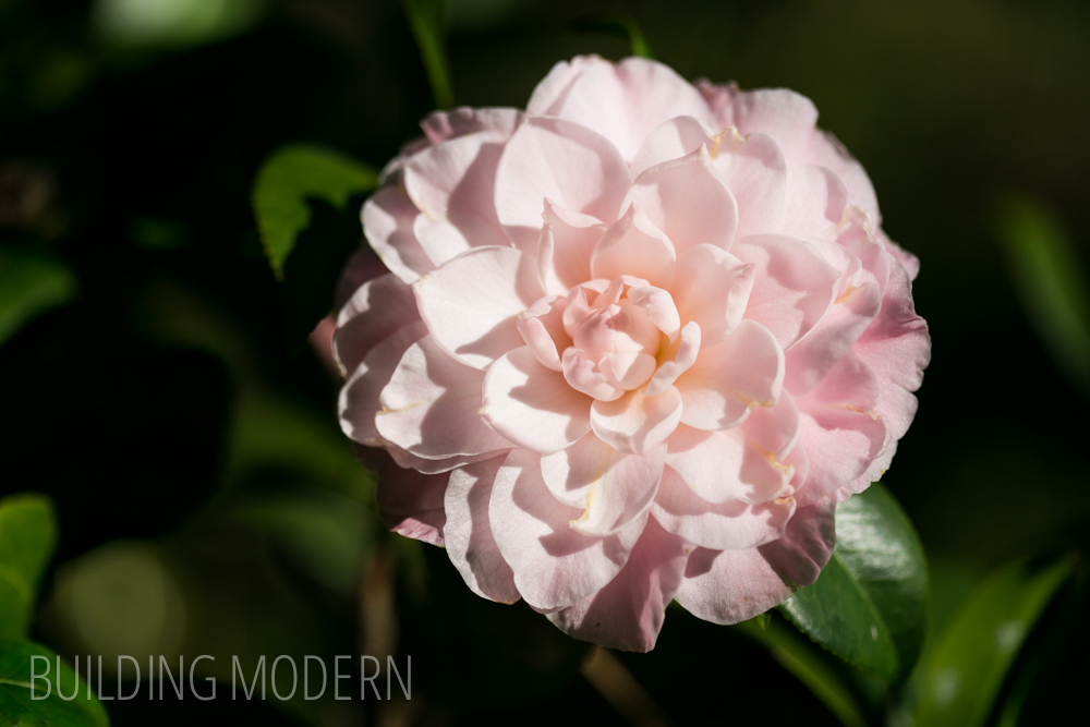Camellia Japonica Miss Bessie Beville