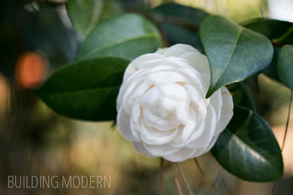 Camellia Japonica Nina Avery