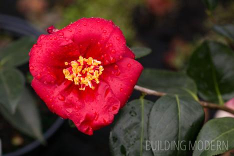 Camellia Japonica Royal Velvet