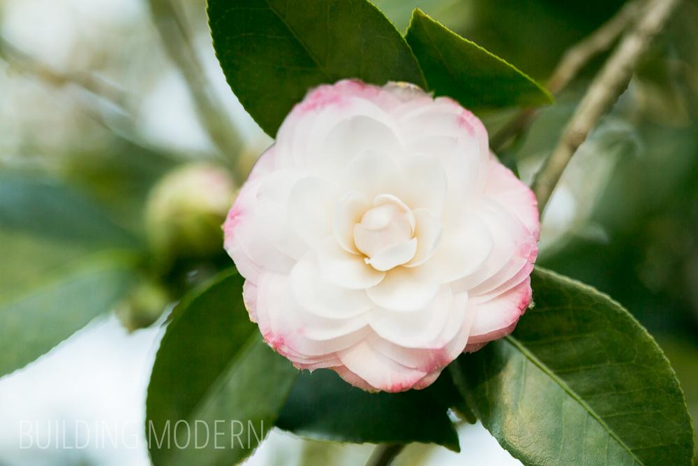 Camellia Japonica Tammia