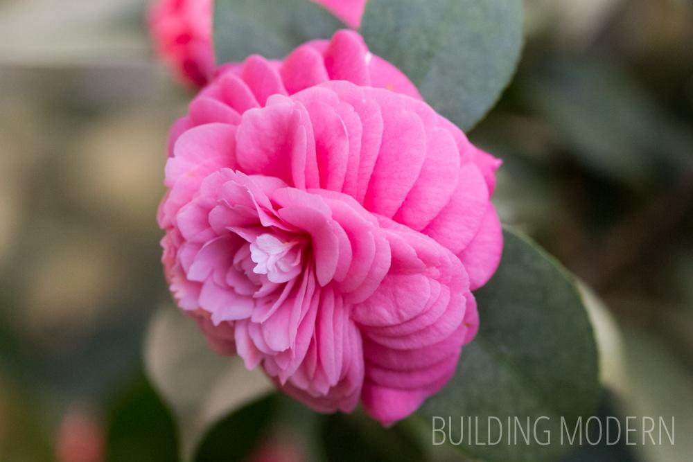 Camellia Japonica Vashti