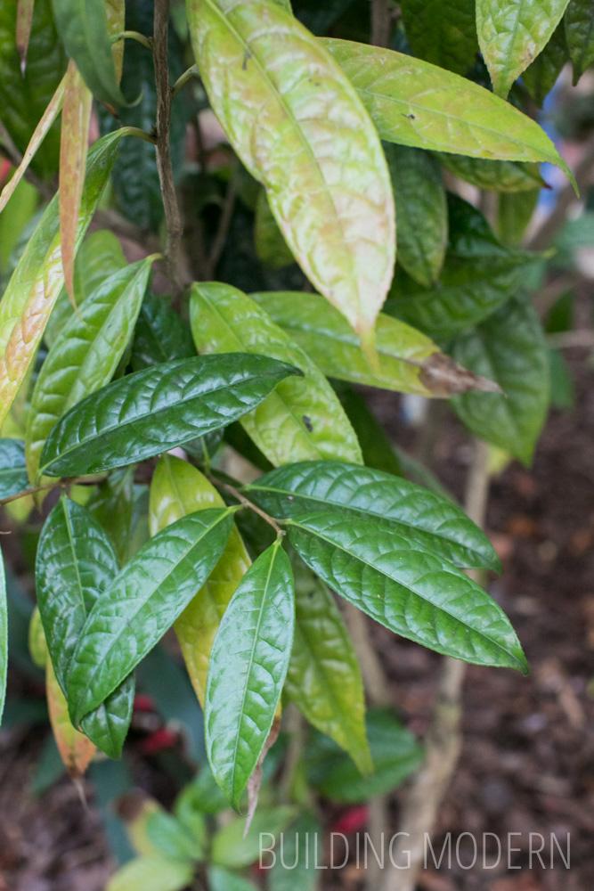 Camellia Nitidissima leaf
