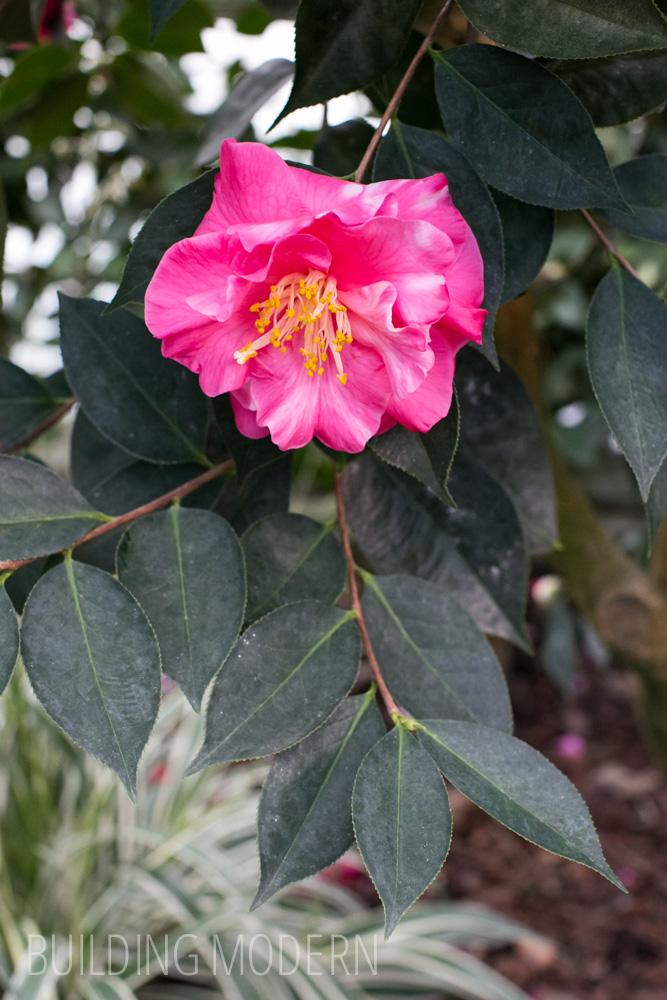 Camellia Reticulata Arcadia Var