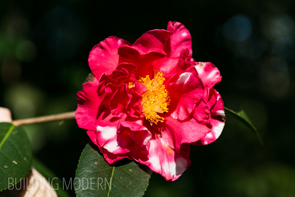 Camellia Reticulata Frank Houser