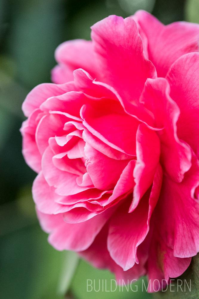 Camellia Reticulata Valentine Day Var 2