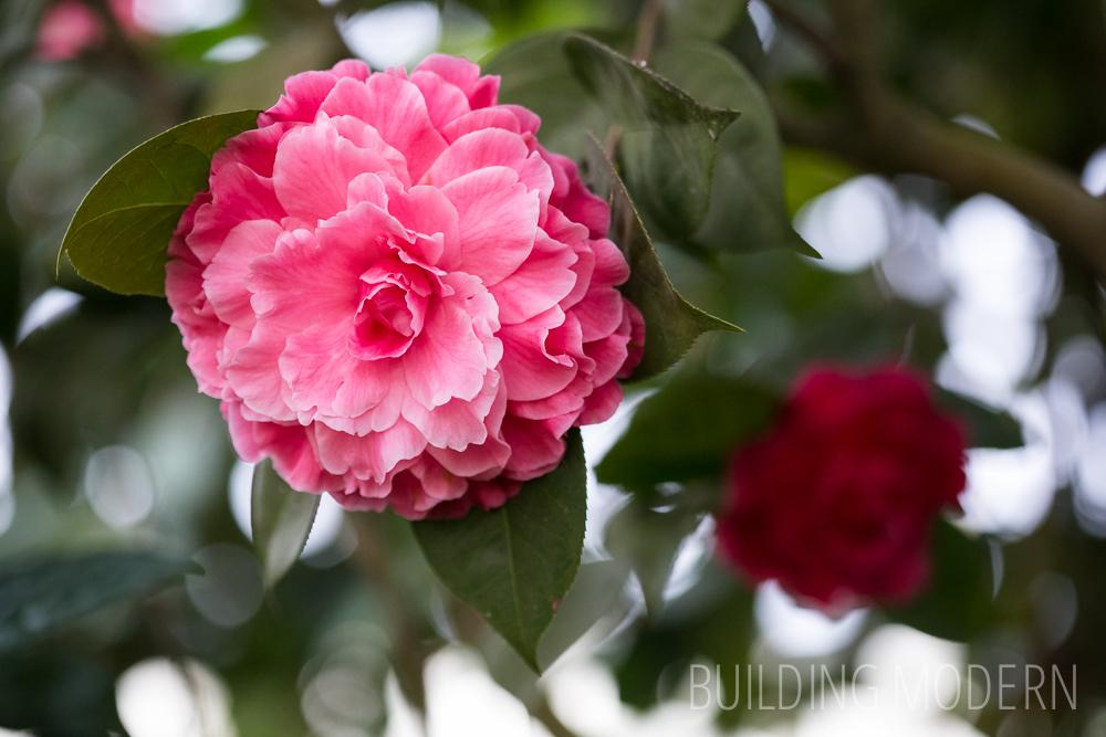 Camellia Reticulata Valentine Day Var