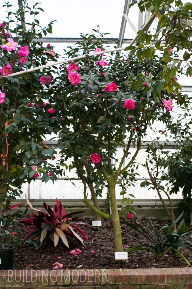 Camellia Reticulata Valley Knudsen