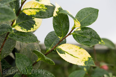 Leaf variegation on Camellia Reticulata Cameron Cooper
