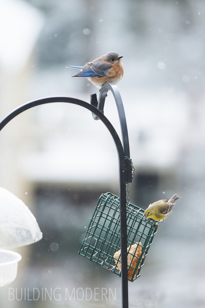 Bluebird and goldfinch in the Snow at a suet feeder