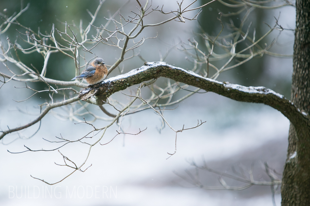 Bluebird on a snowy dogwood branch