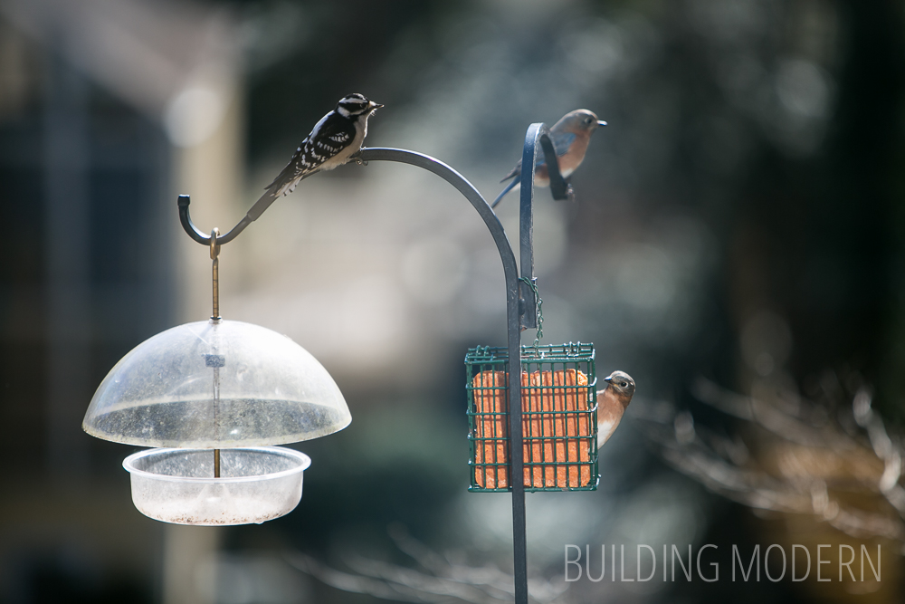 Downy Woodpecker and Eastern Bluebirds on Suet