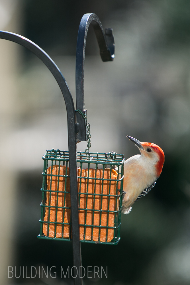 Redbellied Woodpecker on Suet Feeder
