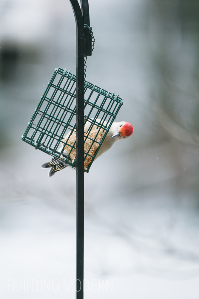 Winter Red bellied woodpecker in Atlanta